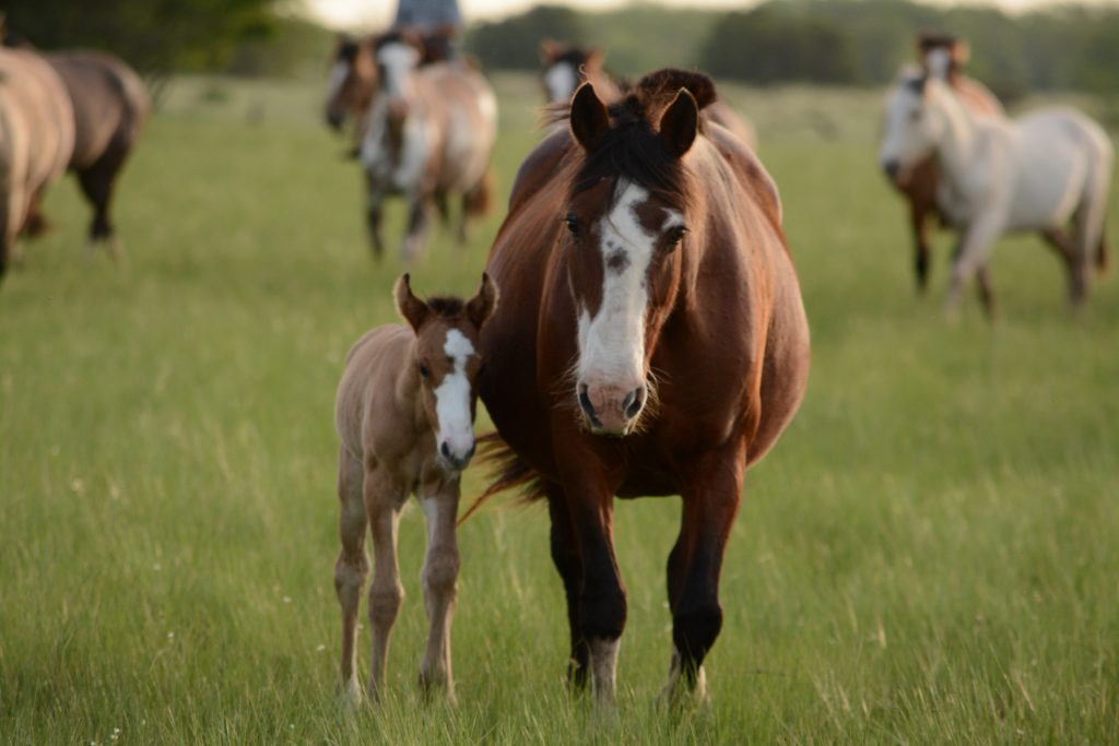 Horse Pregnancy - The Foal